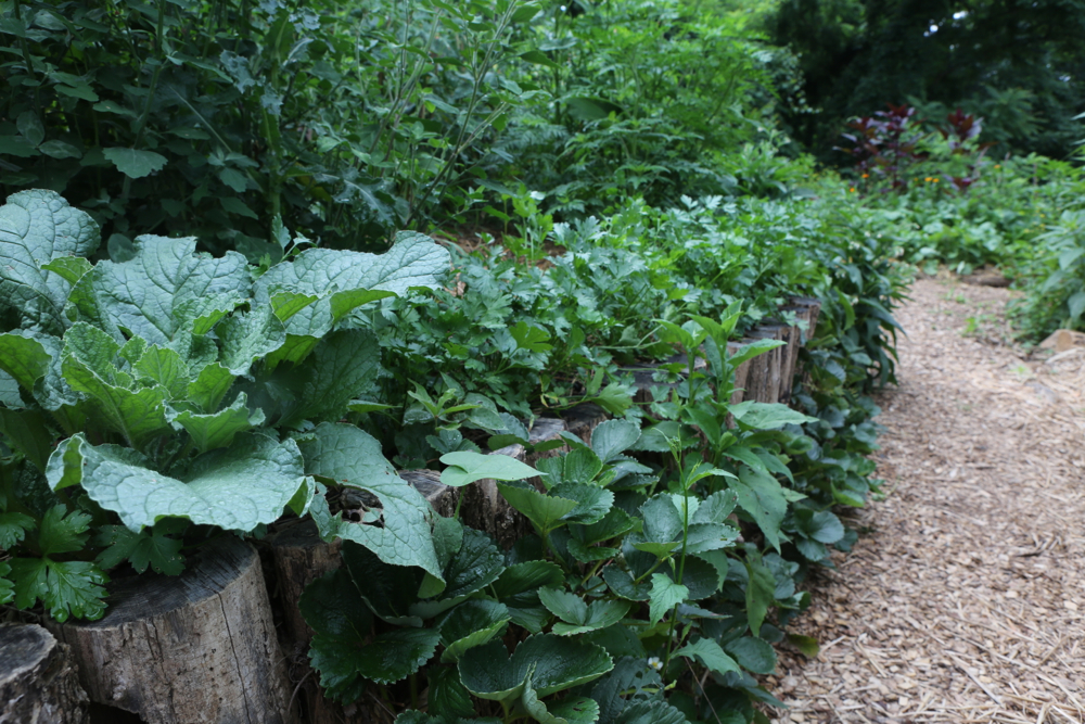 borage, parsley, and strawberries interplanted with veggies at Ashevillage Institute in Asheville, NC.