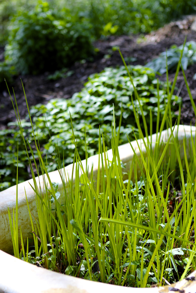9 Tips for Planning the Herb Garden of Your Dreams - calamus and skullcap growing in a retired bathtub