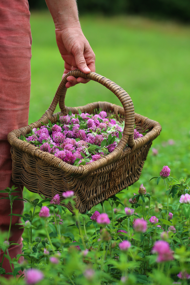 9 Tips for Planning the Herb Garden of Your Dreams - harvesting red clover