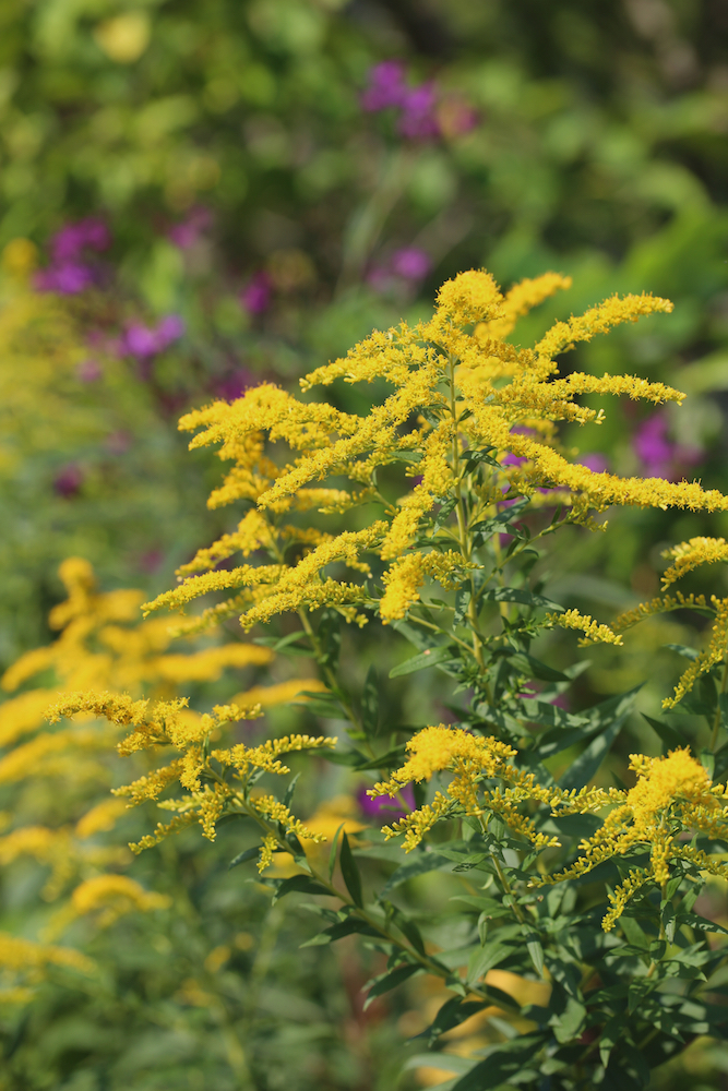 Goldenrod (Solidago sp.) growing with ironweed (Vernonia) in North Carolina