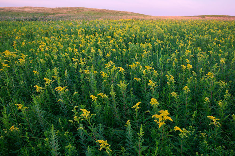 Goldenrod (Solidago sp.) growing in Minnesota; photo courtesy of Clint Farlinger