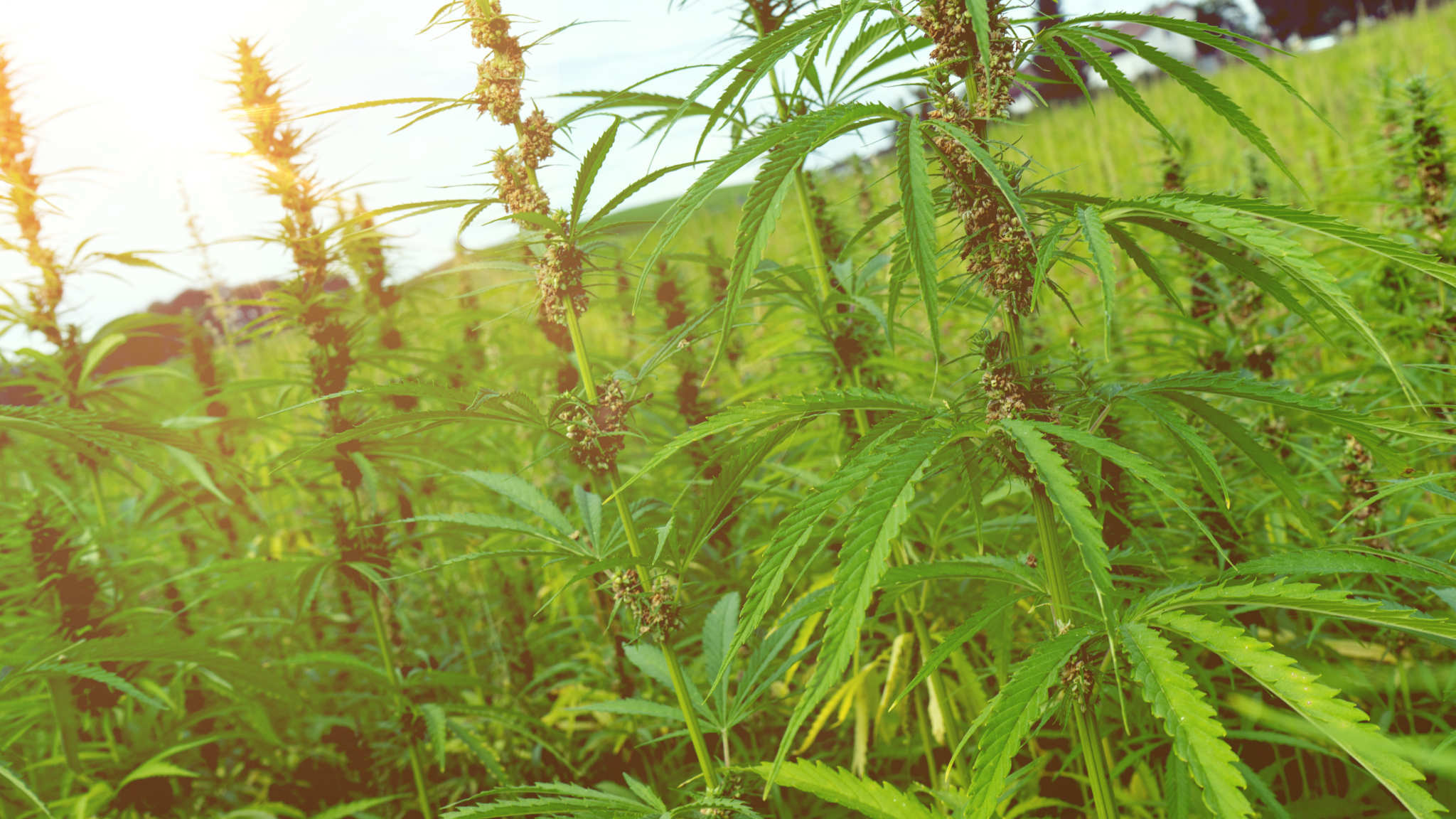 State hemp programs vary widely: some, like Vermont are simple while growers in Wisconsin face challenging complications. Hemp plants grow tall and leafy in a densely packed field.