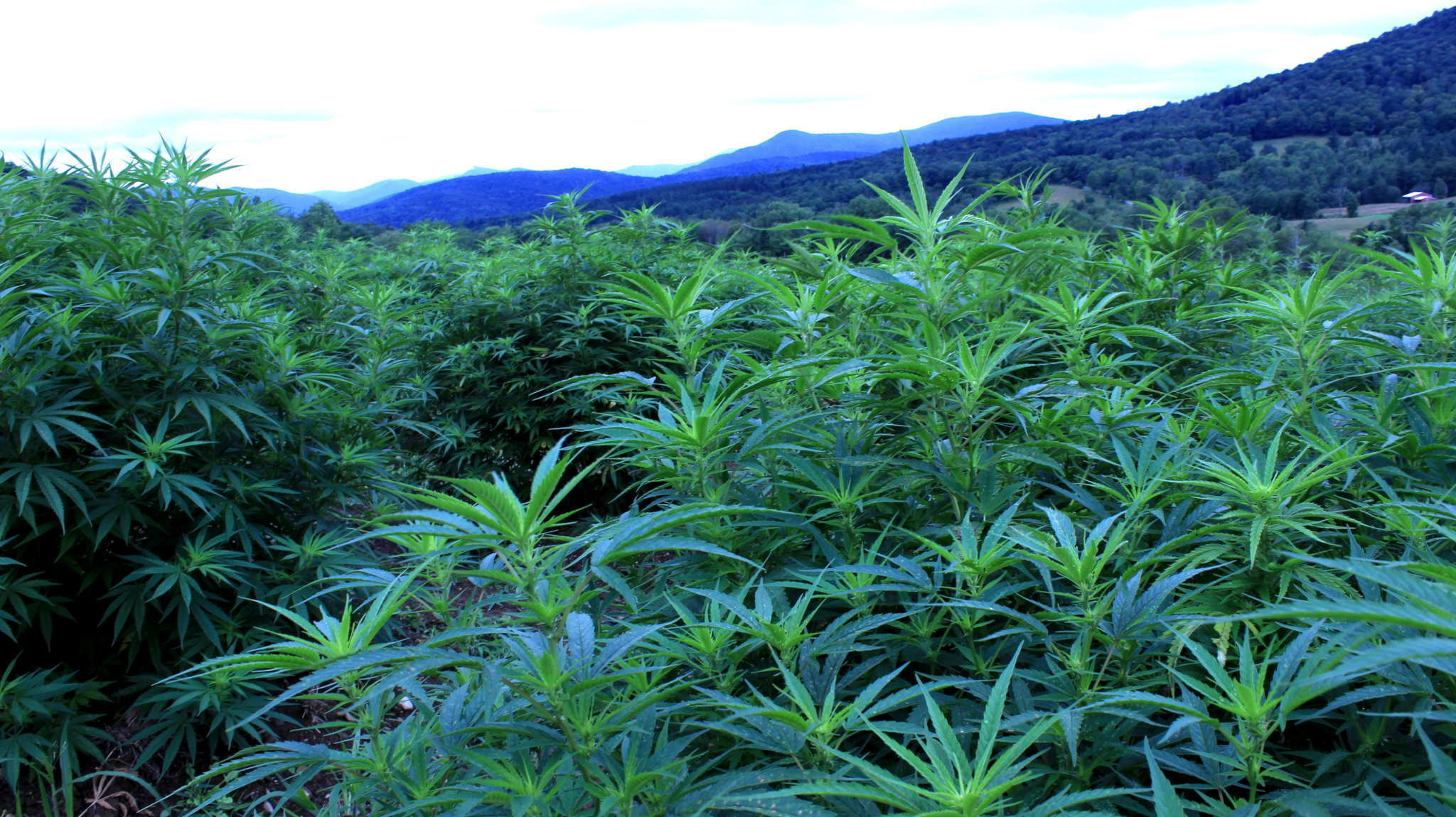 A massive, tall hemp field with the Vermont mountains behind it. Luce Farm creates their own CBD products from their harvest, controlling their output from seed to shelf.