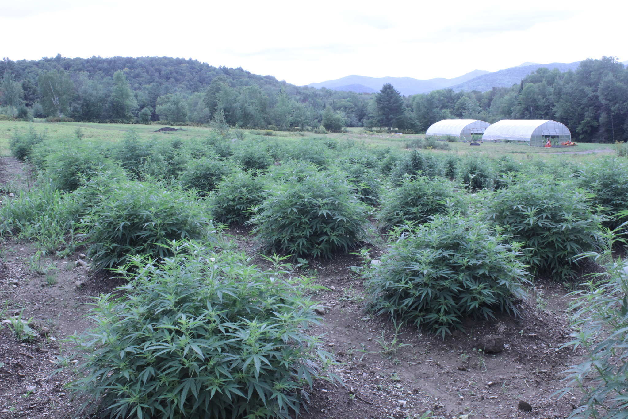 Hemp grows in dense clusters in a field. In the distance are greenhouses, a forest and the mountains. Luce Farm is not just a beautiful Vermont hemp farm, but also an example of hemp's power to revive American agriculture.