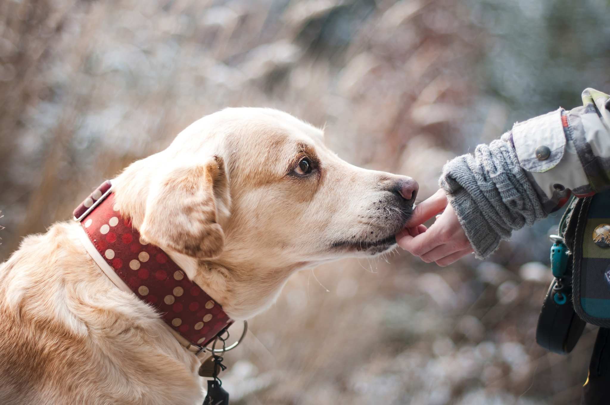 An older, white-furred dog in a thick red collar takes a treat from a hand while walking outside. Using CBD oil for dogs helps them feel better and more active despite the everyday aches and pains of aging.