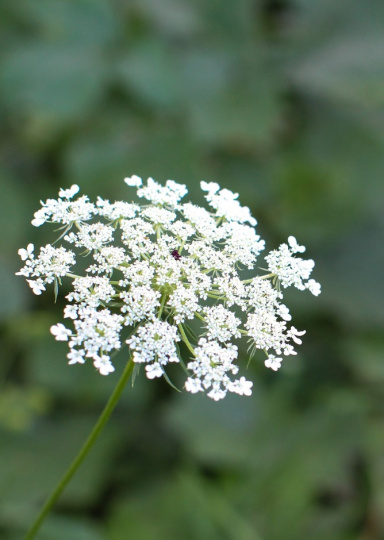 Queen Anne's Lace - Kathleen