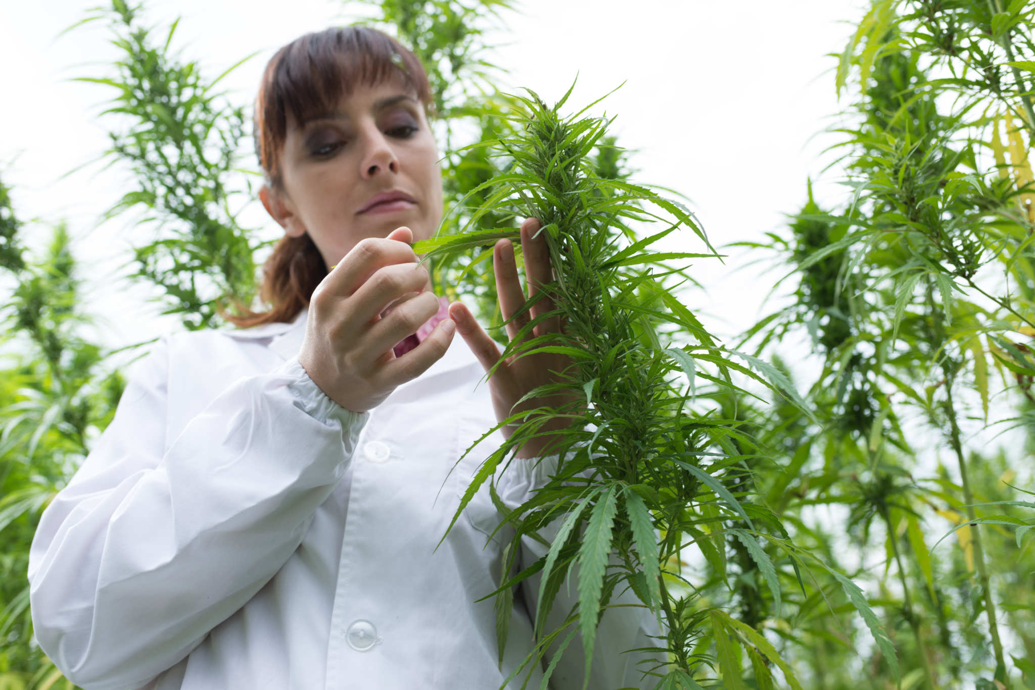 A researcher studies a hemp plant in a field. Hemp and cannabis contain numerous other cannabinoids beyond THC & CBD. These include CBC-a, CBDV, and many more.