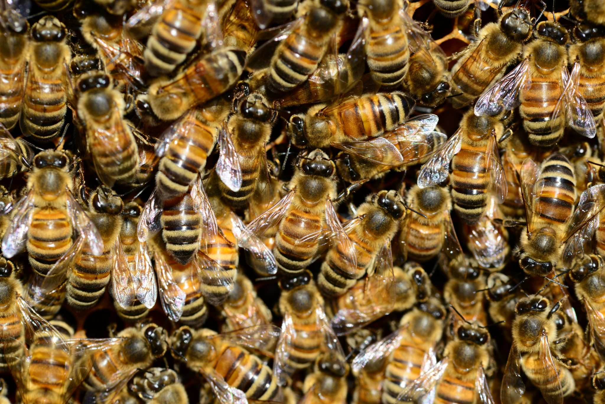 A closeup of a swarm of dozens of honeybees. Do bees love hemp? Preliminary research found 23 different bee species were attracted to Colorado hemp fields.