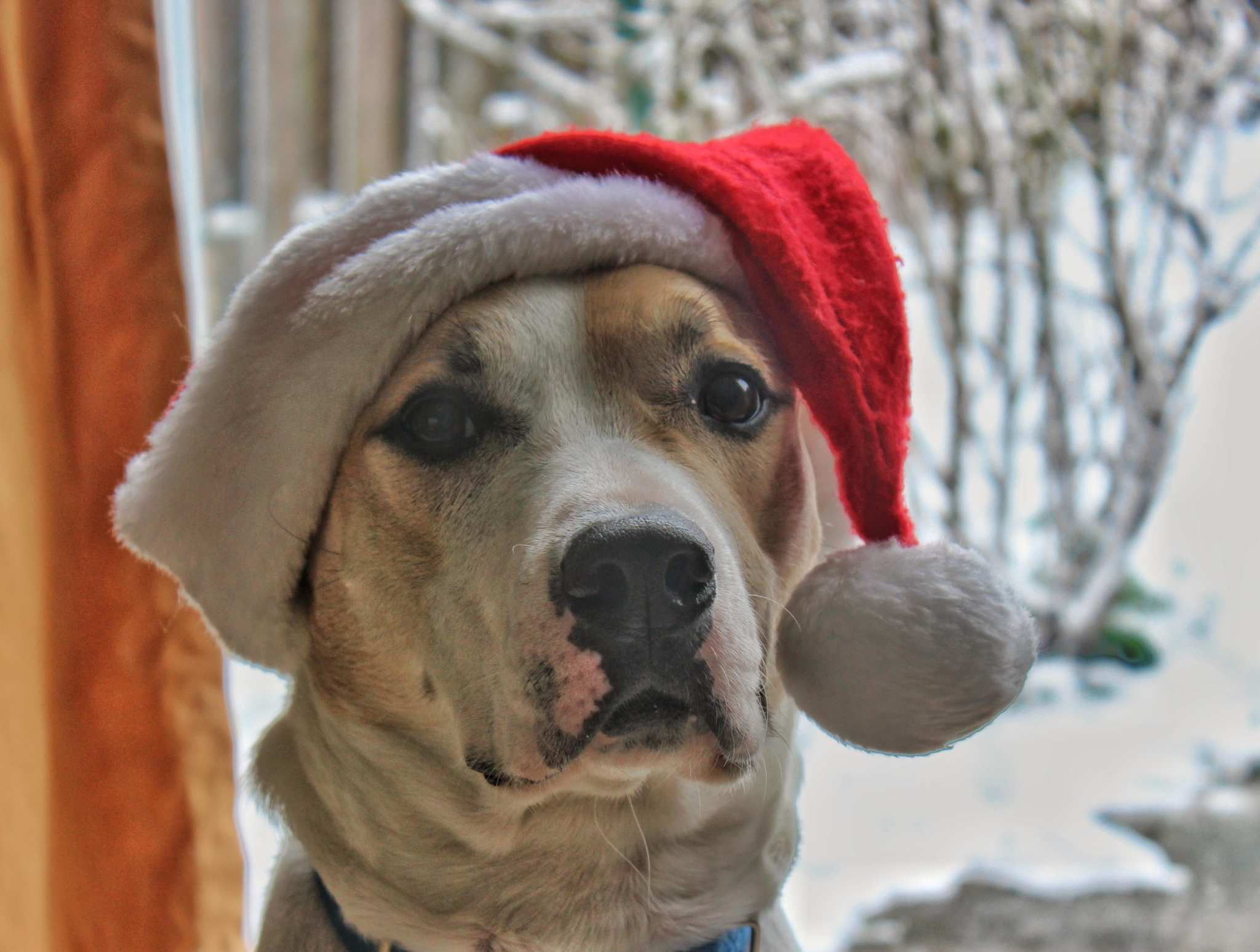 A large multi-colored dog in a Santa hat seen in front of a window showing a snowy scene. You'll even find something for your four-legged friends in MInistry of Hemp's Holiday Hemp Gift Guide!