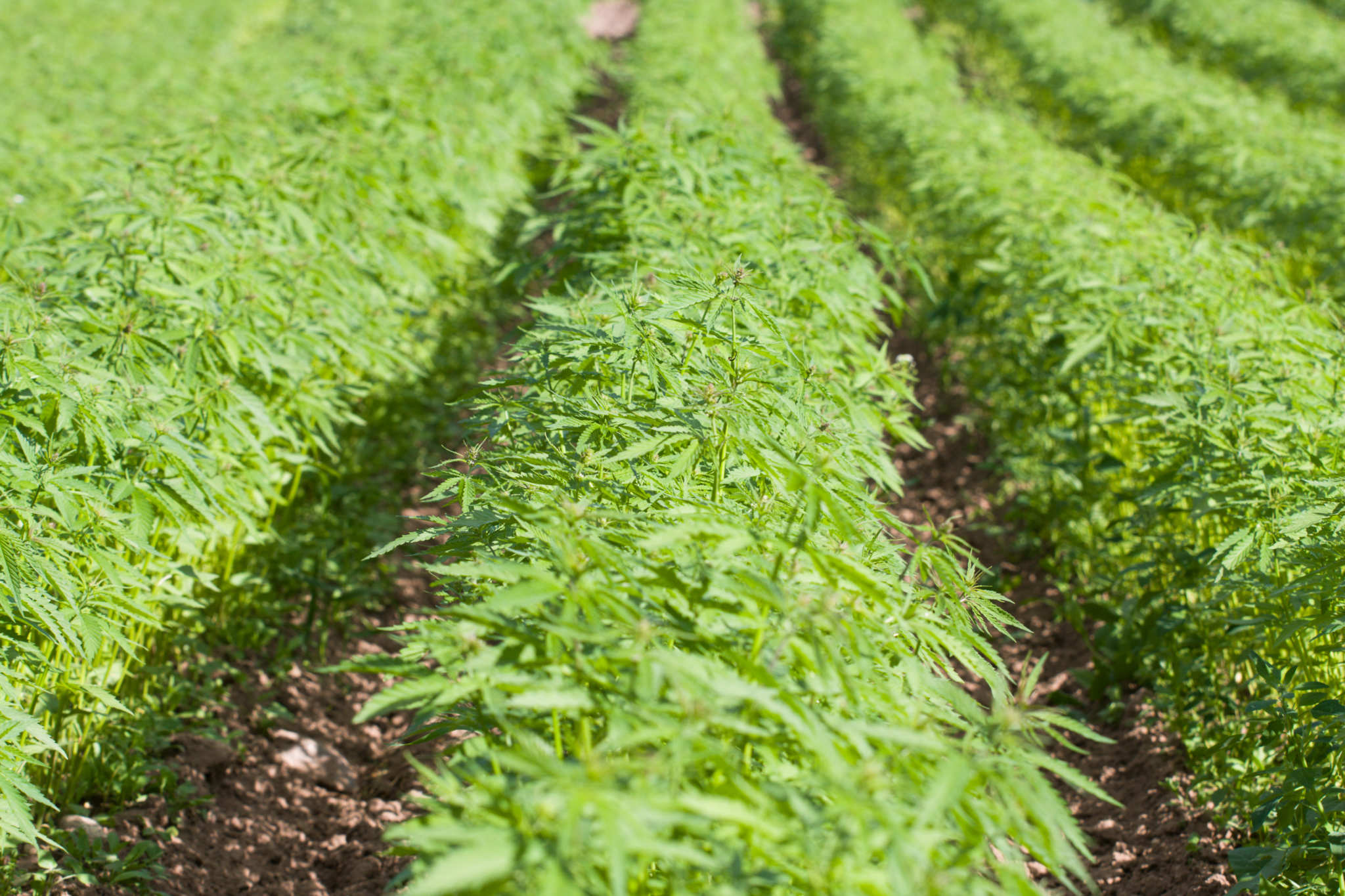 A hemp field, with young green hemp plants growing in many long densely packed rows. Under current regulations on hemp in the UK, farmers are forced to destroy large portions of the plant, while simultaneously the UK imports