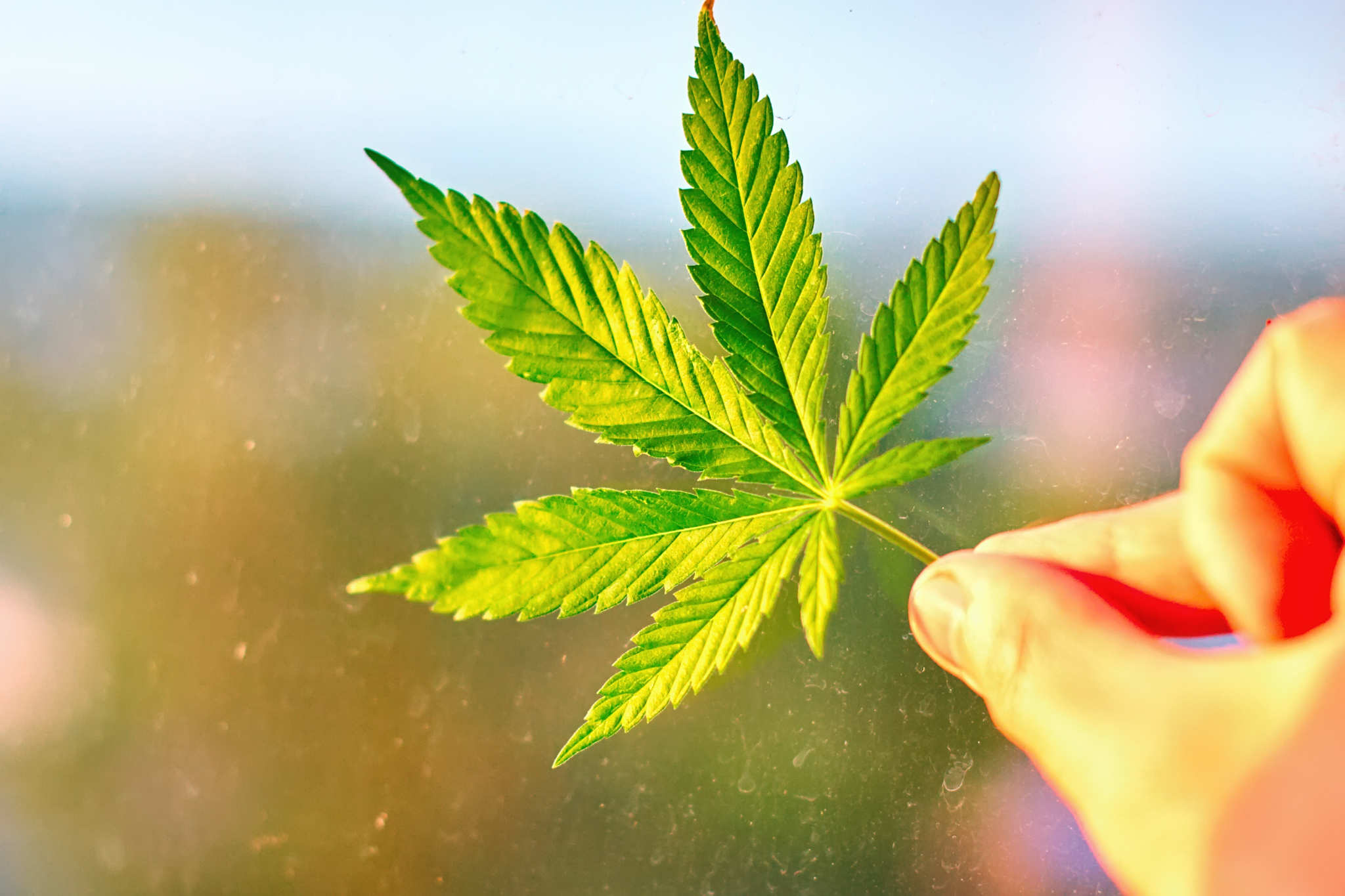 A hand holding a hemp leaf. Prejudices against hemp and all forms of cannabis are beginning to fade in the UK, with 43 percent supporting total legalization of psychoactive cannabis (
