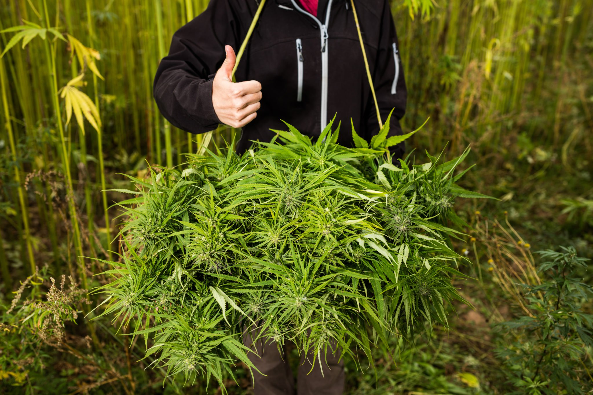 Seen from the shoulders down, a farmer in a black hoodie gives a thumbs up while posing with a basket of freshly harvested hemp. Although the Farm Bill fully legalized hemp, it's clear the stigma around the plant still remains.