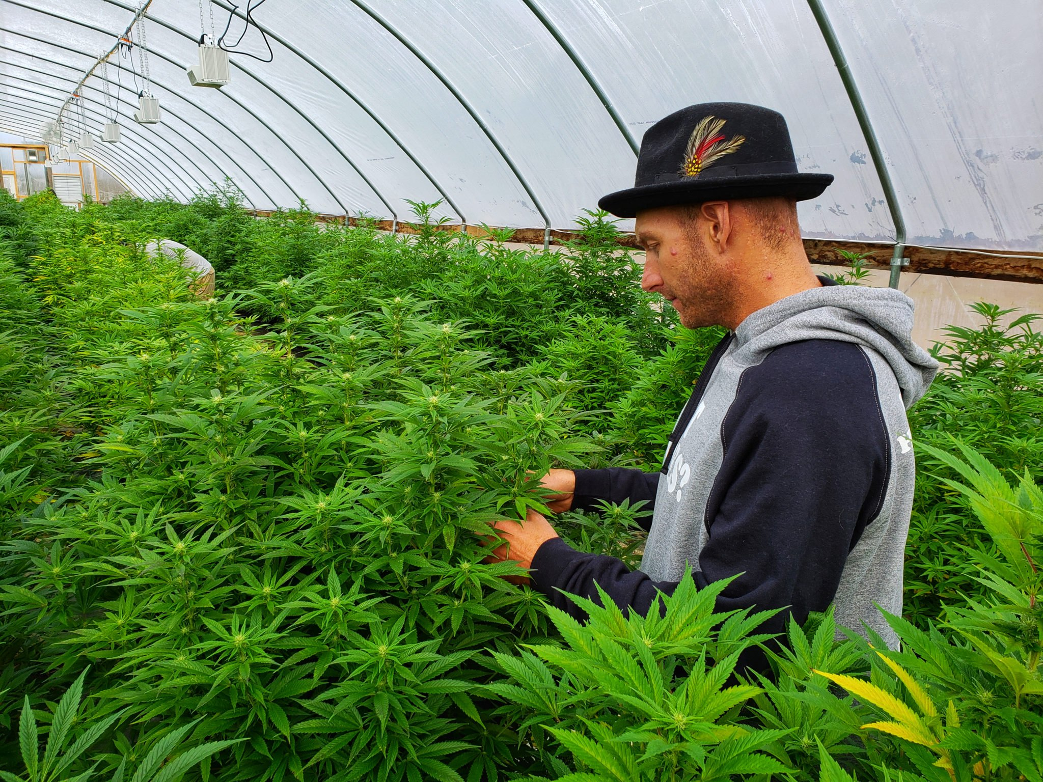 A herm farmer inspects his crop in a massive greenhouse densely packed with industrial hemp plants. The 2018 Hemp Report from Vote Hemp revealed that US hemp acres tripled between 2017 and 2018.