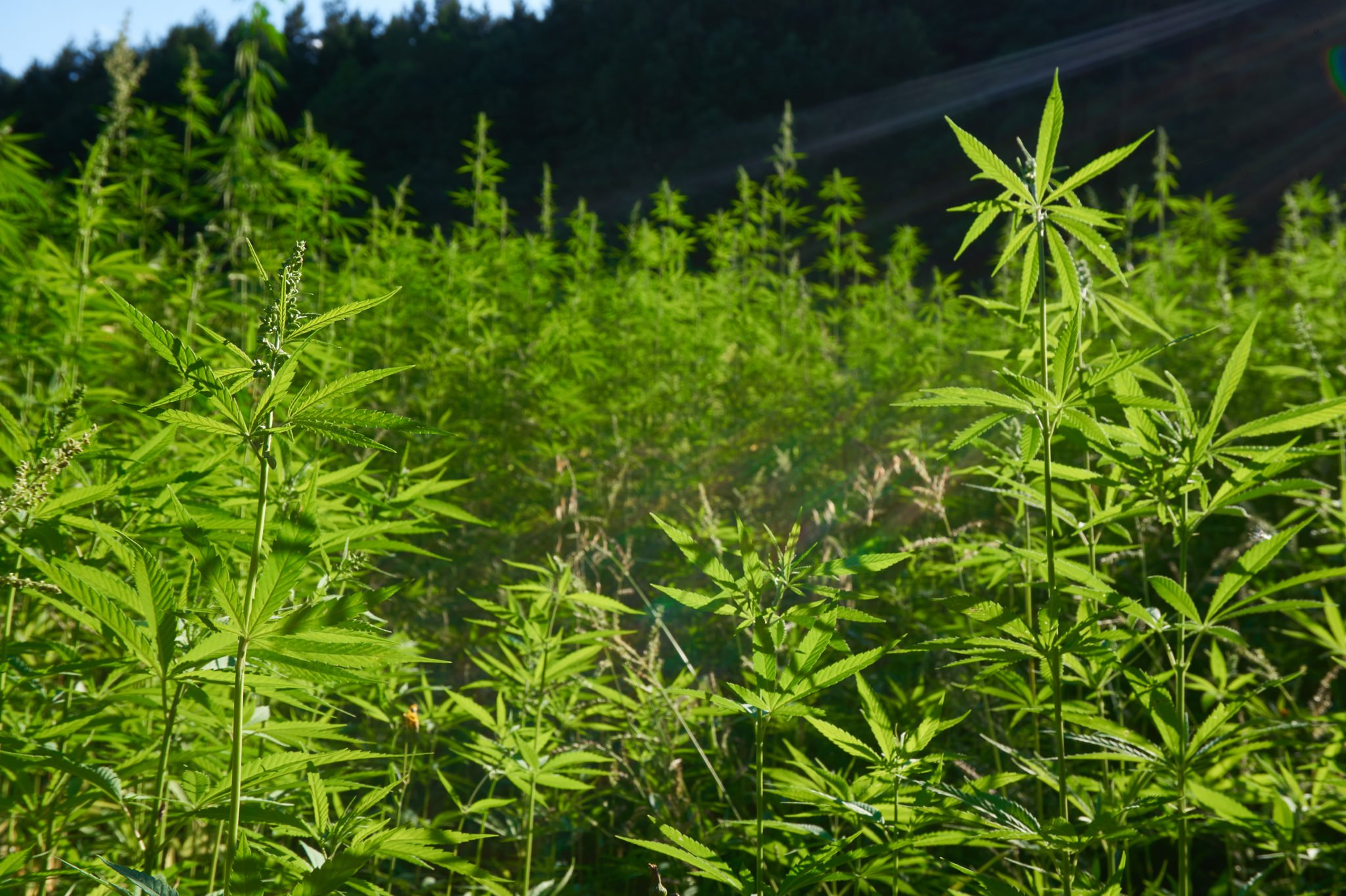 A densely packed hemp field in front of a tree-lined hill.