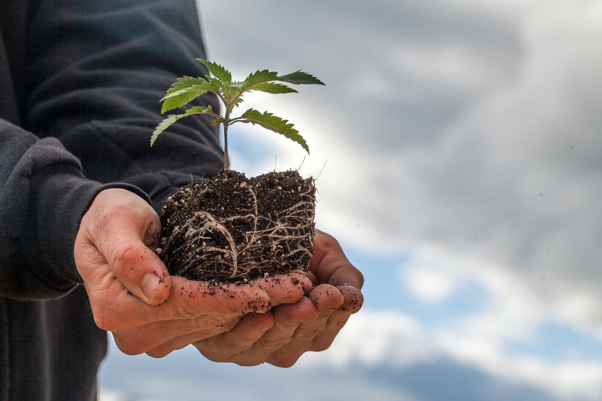 Under the current legal landscape, the hemp supply chain remains inconsistent and lacking in oversight. Photo: A farmer holds a hemp seedling with dirt in cupped hands.