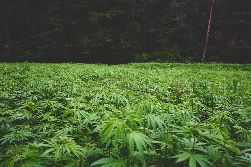 In this Hemp Q&A episode, Kit O'Connell and Matt Baum answer listeners hemp questions. Photo: A hemp field, densely packed with leafy hemp plants.