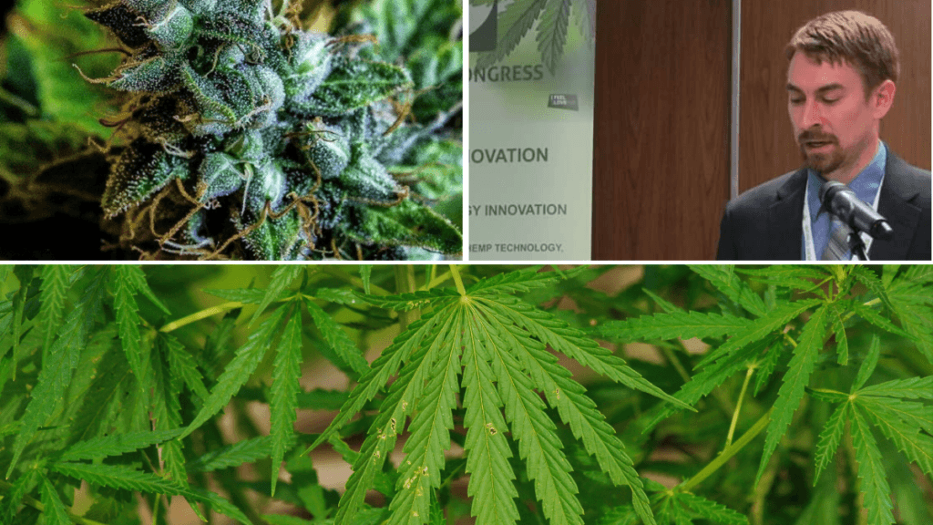 A three part image in a grid, showing a fancy hemp bud, Kelly Rippel speaking at a podium, and the leaves of wild-growing cannabis plants in Kansas.