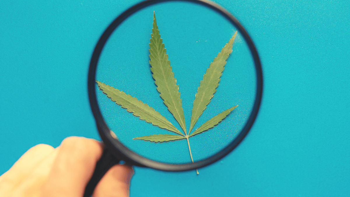 CBD scams hurt the industry and damage consumer trust. Photo: A hand holds a magnifying glass inspecting a hemp lead.