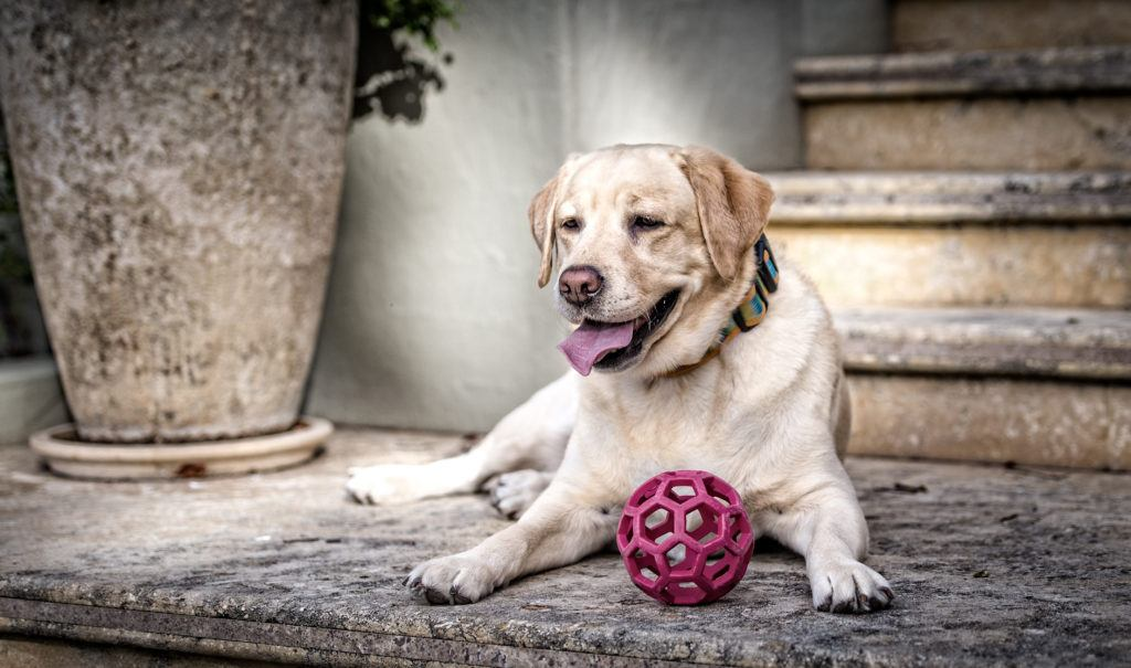 An older dog rests on a cement stoop, happily playing with a plastic ball toy.
